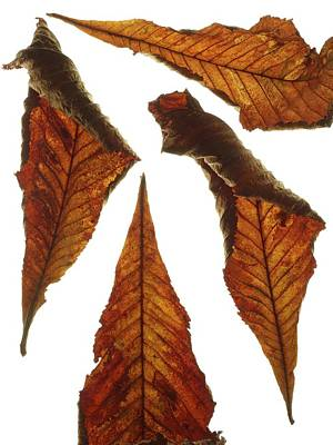 Horse Chestnut Leaves Art Print by Science Photo Library