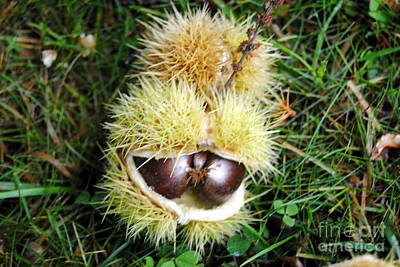 Photograph - Horse Chestnuts 2 by Rachael Shaw
