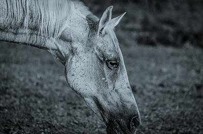 Photograph - Horse Grazing Bw by David Morefield