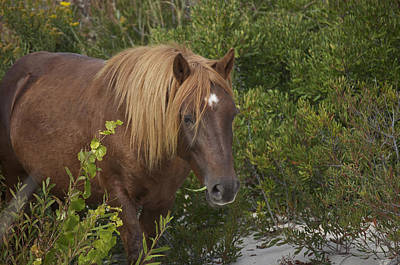 Photograph - Horse In Asseteague Island Dunes by Greg Vizzi