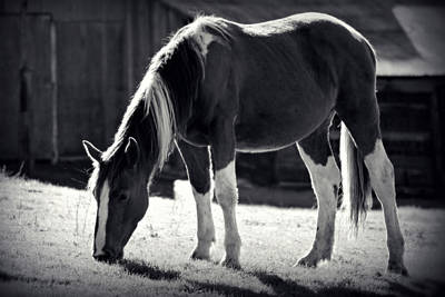 Photograph - Horse In Bw by Rima Biswas