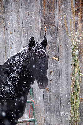 Photograph - Horse In Snow by William Munoz