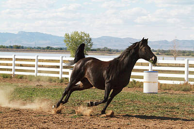 Morgan Horse Photograph - Horse Running In Pasture by Piperanne Worcester