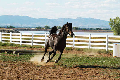 Morgan Horse Photograph - Horse Running by Piperanne Worcester