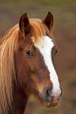 Horse Stare Print by Paul Scoullar