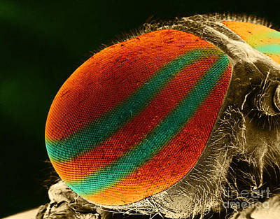 Photograph - Horsefly Eye Sem by Biophoto Associates