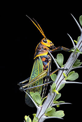 Robert Jensen Photograph - Horselubber Grasshopper On Ocotillo by Robert Jensen