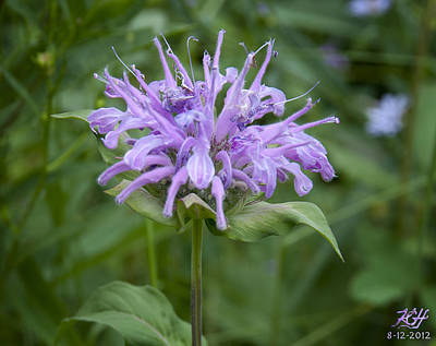 Photograph - Horsemint by Kenneth Hadlock