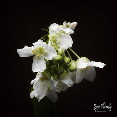 Photograph - Horseradish Bloom by Roman Wilshanetsky