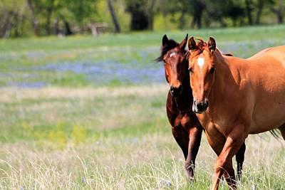 Horses And Bluebonnets II Art Print