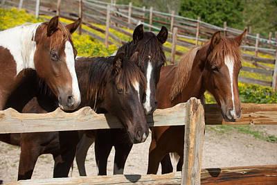 Horses Behind A Fence Art Print