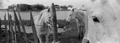 Horses, Camargue, France Art Print by Panoramic Images