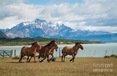 Horses Galloping In Patagonia Art Print by OUAP Photography