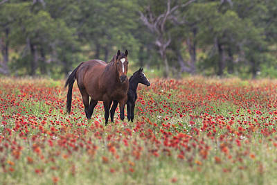 Wildflowers In Texas Photograph - Horses In A Field Of Texas Wildflowers by Rob Greebon