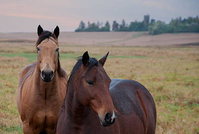 Horses In Rural Northwest Iowa  Art Print