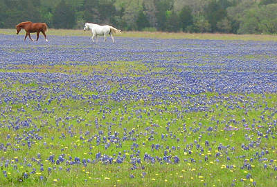 Horses Running In Field Of Bluebonnets Art Print by Connie Fox