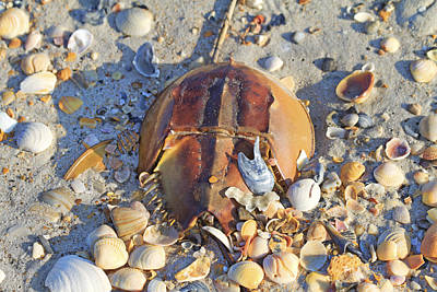Horseshoe Crab Photograph - Horseshoe Crab And Shells by Betsy Knapp