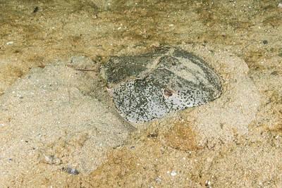 Limulus Polyphemus Photograph - Horseshoe Crab by Andrew J. Martinez