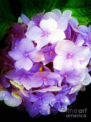 Photograph - Hortensia After Rain by Nina Ficur Feenan