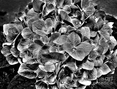 Photograph - Hortensia In Black And White by Nina Ficur Feenan