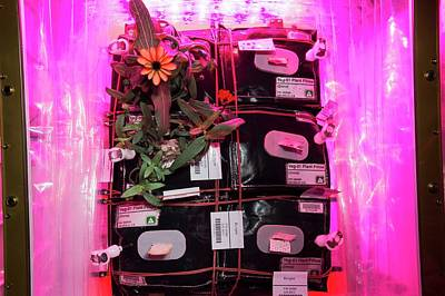 Zinnias Wall Art - Photograph - Horticulture Experiment On The Iss by Nasa/science Photo Library