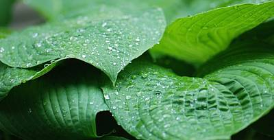 Photograph - Hosta After The Rain by Amy Porter