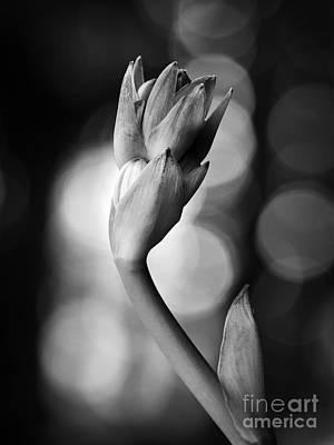 Photograph - Hosta Bloom Peek In Black And White by Lee Craig