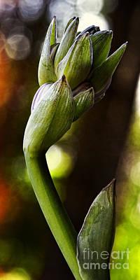 Photograph - Hosta Bud Peek Tall II by Lee Craig