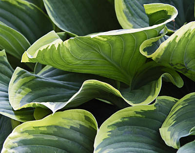 Photograph - Hosta by David Freuthal