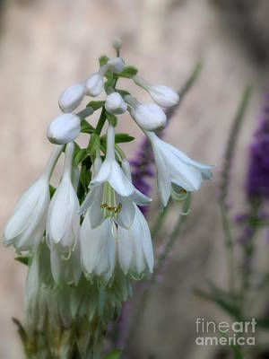 Photograph - Hosta Flowers by France Laliberte