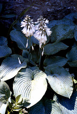 Hosta In Bloom Art Print