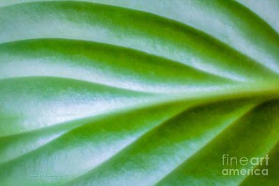 Photograph - Hosta  by Jean OKeeffe Macro Abundance Art