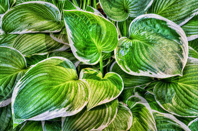 Hosta La Vista Print by Paul Wear