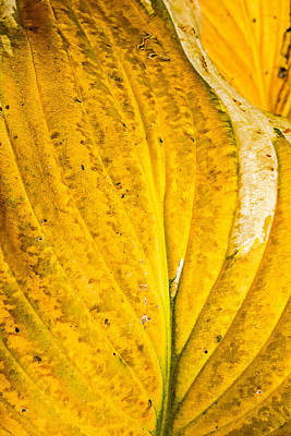 Photograph - Hosta Leaf-late Fall by  Onyonet  Photo Studios