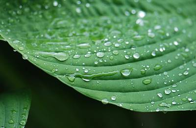 Photograph - Hosta Leaves by Amy Porter