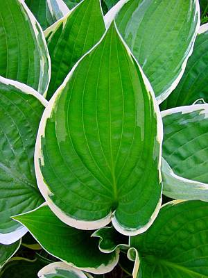 Photograph - Hosta Leaves by MTBobbins Photography