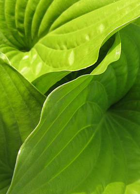 Hosta Leaves Art Print