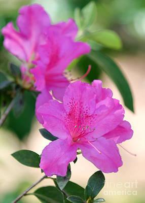 Florida Flowers Photograph - Hot Pink Azalea by Sabrina L Ryan