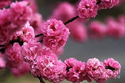 Hot Pink Blossom Art Print by Joy Watson