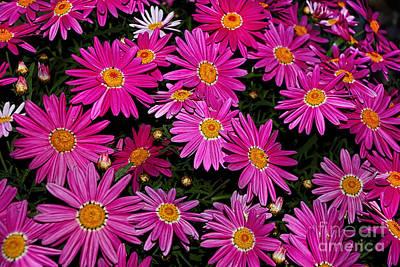Daisy Bud Photograph - Hot Pink Daisies by Kaye Menner