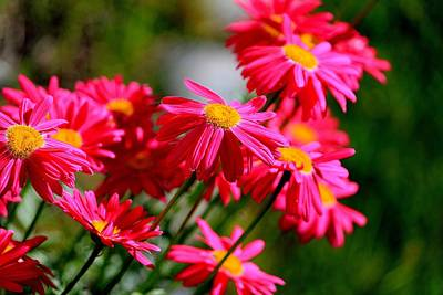 Photograph - Hot Pink Daisies by Michael Saunders