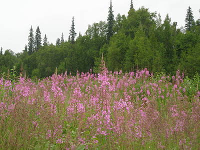 Photograph - Hot Pink Fireweed by Lucinda VanVleck