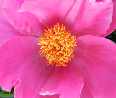 Hot Pink Flower Art Print by Cathy Anderson