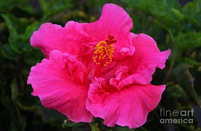 Photograph - Hot Pink Hibiscus  by Elizabeth Winter