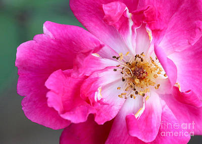 Photograph - Hot Pink Rose by Sabrina L Ryan