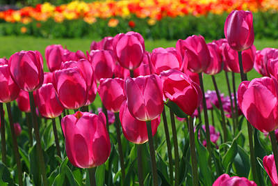 Photograph - Hot Pink Triumph Type Tulips by Allen Beatty