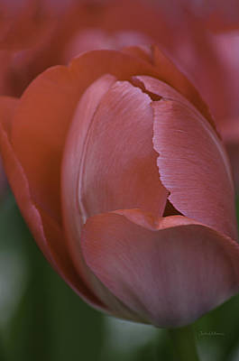 Photograph - Hot Pink Tulip by Julie Palencia