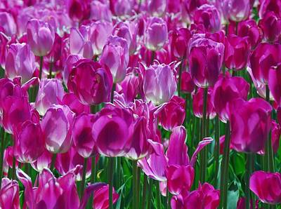 Photograph - Hot Pink Tulips 3 by Allen Beatty