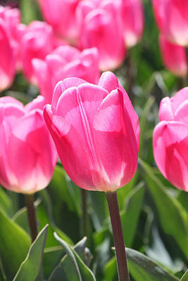 Photograph - Hot Pink Tulips 4 by Allen Beatty
