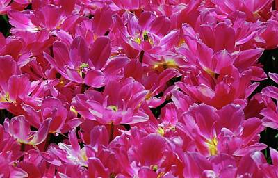 Photograph - Hot Pink Tulips by Allen Beatty